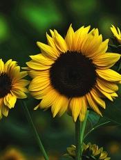 花儿向阳开