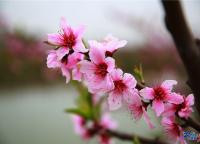 紙妹與桃花
