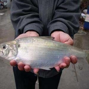 立夏前后话鲥鱼——关于美国鲥鱼的池塘养殖