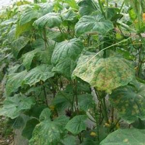 立夏时节蔬菜病虫害防治指南