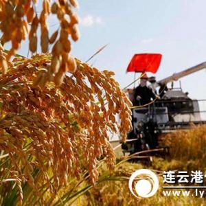 """【治国理政新实践·江苏篇】全省唯一""""海水稻""""开镰 亩产再创新高 ... ..."""