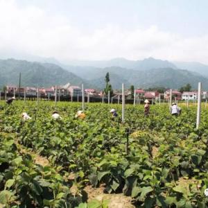 汉阴积极开展特色农业新品种引进试验与示范推广