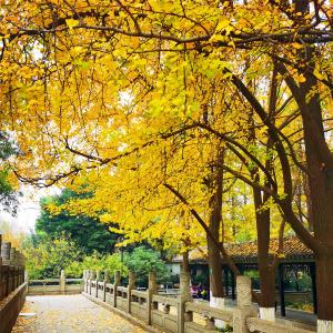 色叶植物尽显多姿,装扮龙城最靓秋冬